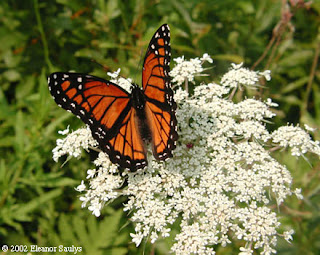 On A Journey Back To Her Wings Queen Anne S Lace Natural Birth