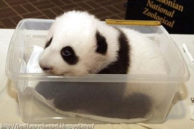 Small panda.