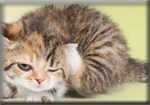 pengobatan kucing kurap