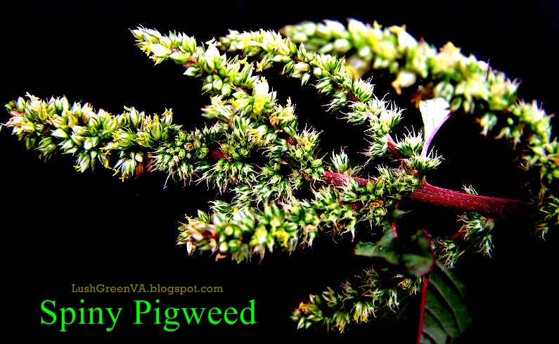 flowering end of branch where some of the plants over 100000 seeds eventually form