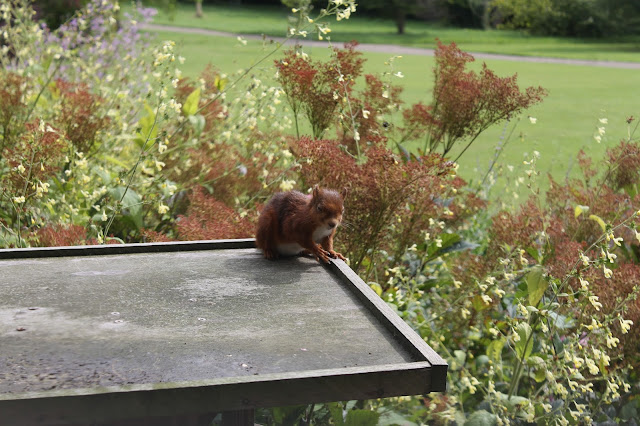 Red squirrel Earl Grey Tea House Howick Hall Gardens Northumberland
