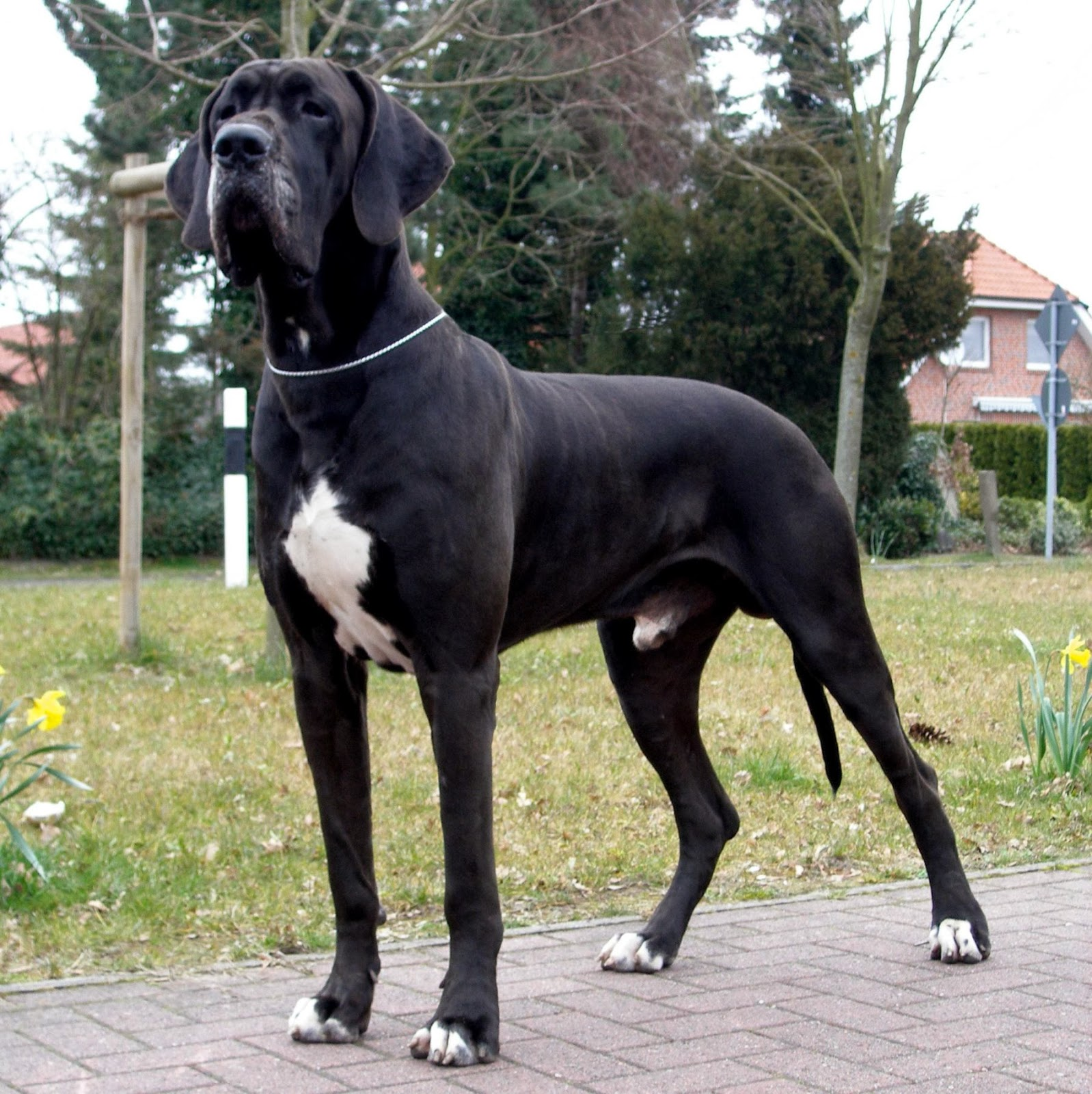 I A Great Dane Rules of the Jungle: G...