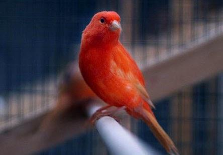 Foto Burung Kenari Kicau Mania Love Birds