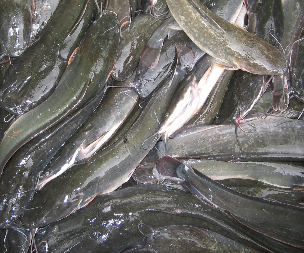 cara beternak ikan koi