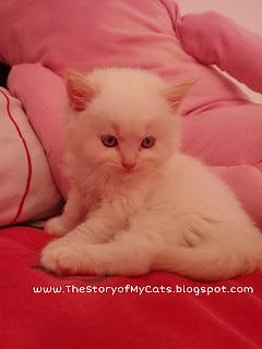 kucing putih mata biru