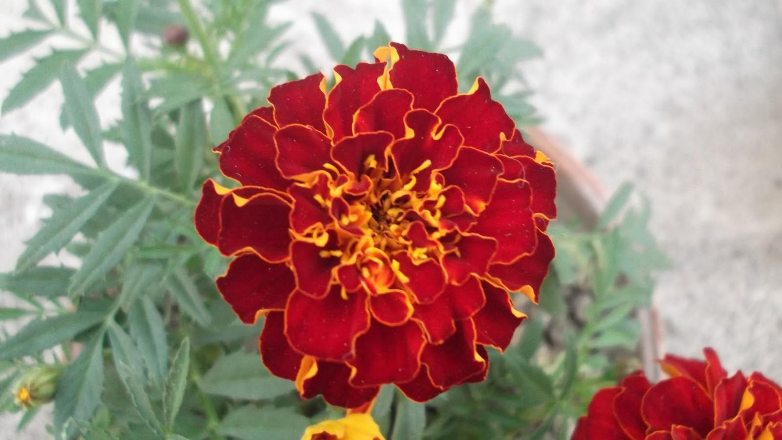 marigold flowers Plant a garden of sunshine with marigolds these cheery annual flowers are a snap to grow, offering nonstop blooms all summer long a six pack of annuals is great way to add bold, seasonal color to your container combinations and landscape flower beds.