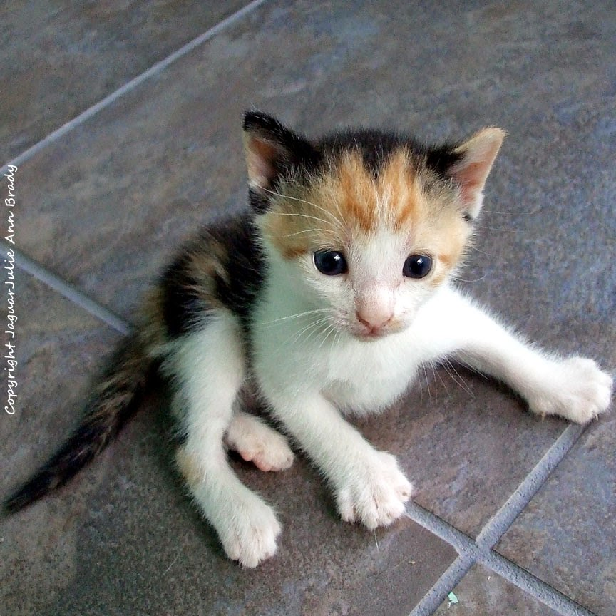 black and orange with white calico kitten for adoption