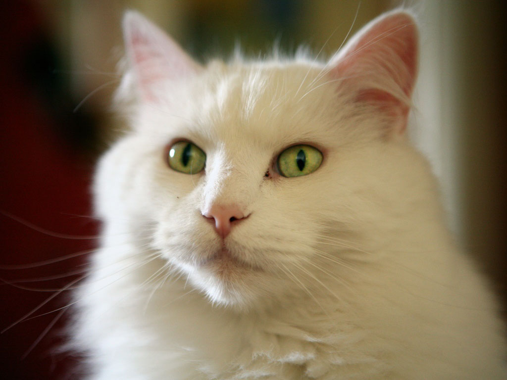white cute cat pictures photos wallpapers beautiful white cute cat