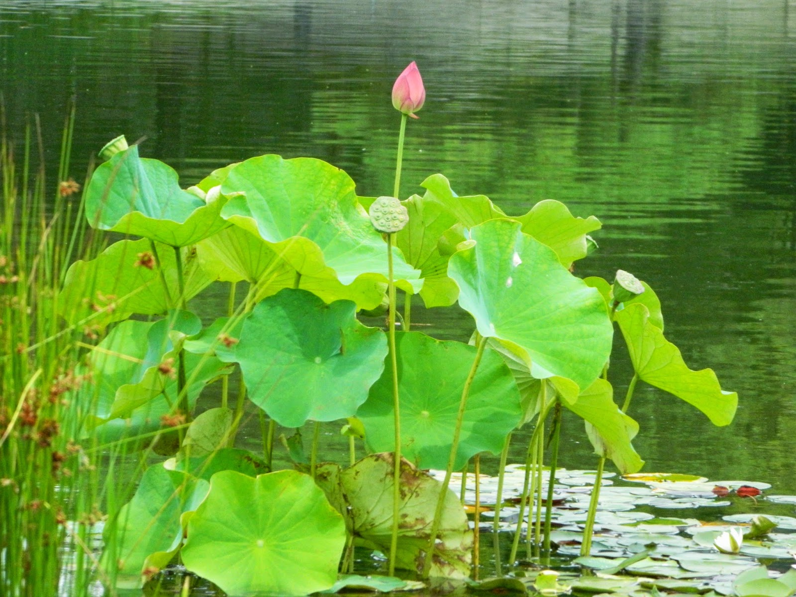 lotus bud at museum