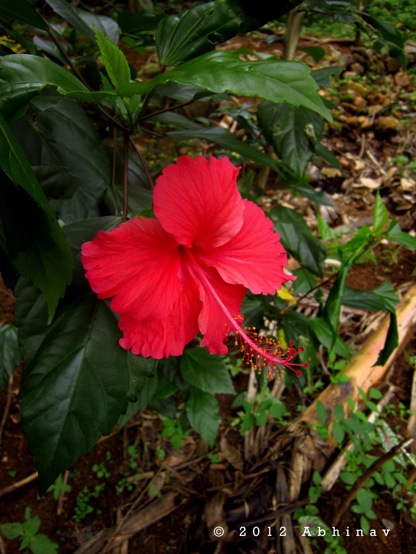 Hibiscus flowers rhythm of nature red hibiscus izmirmasajfo Choice Image