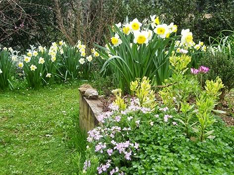 Rincón del jardín con narcisos en flor