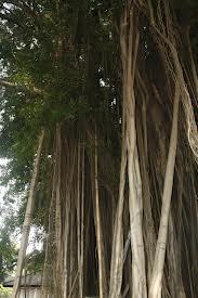 Cerita Seram Kuntilanak Penunggu Pohon Beringin