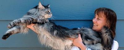 stewie record gato mas largo del mundo