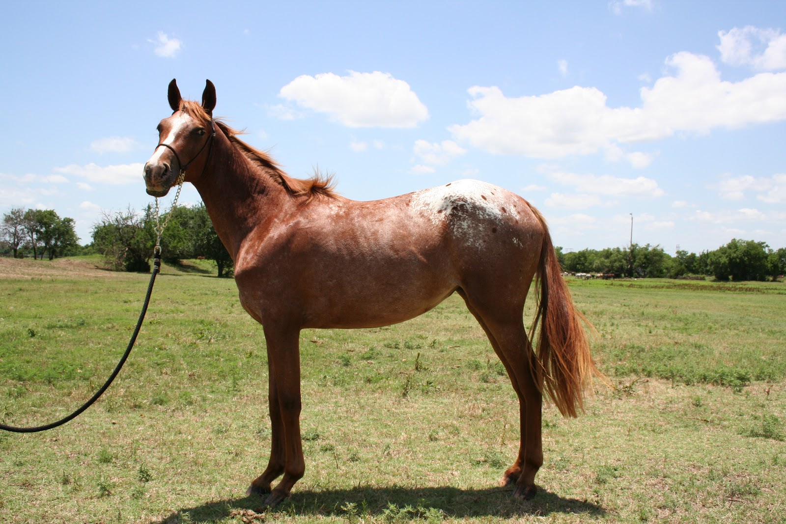 Drafts With Dots Conformation Clinic The Hind Leg