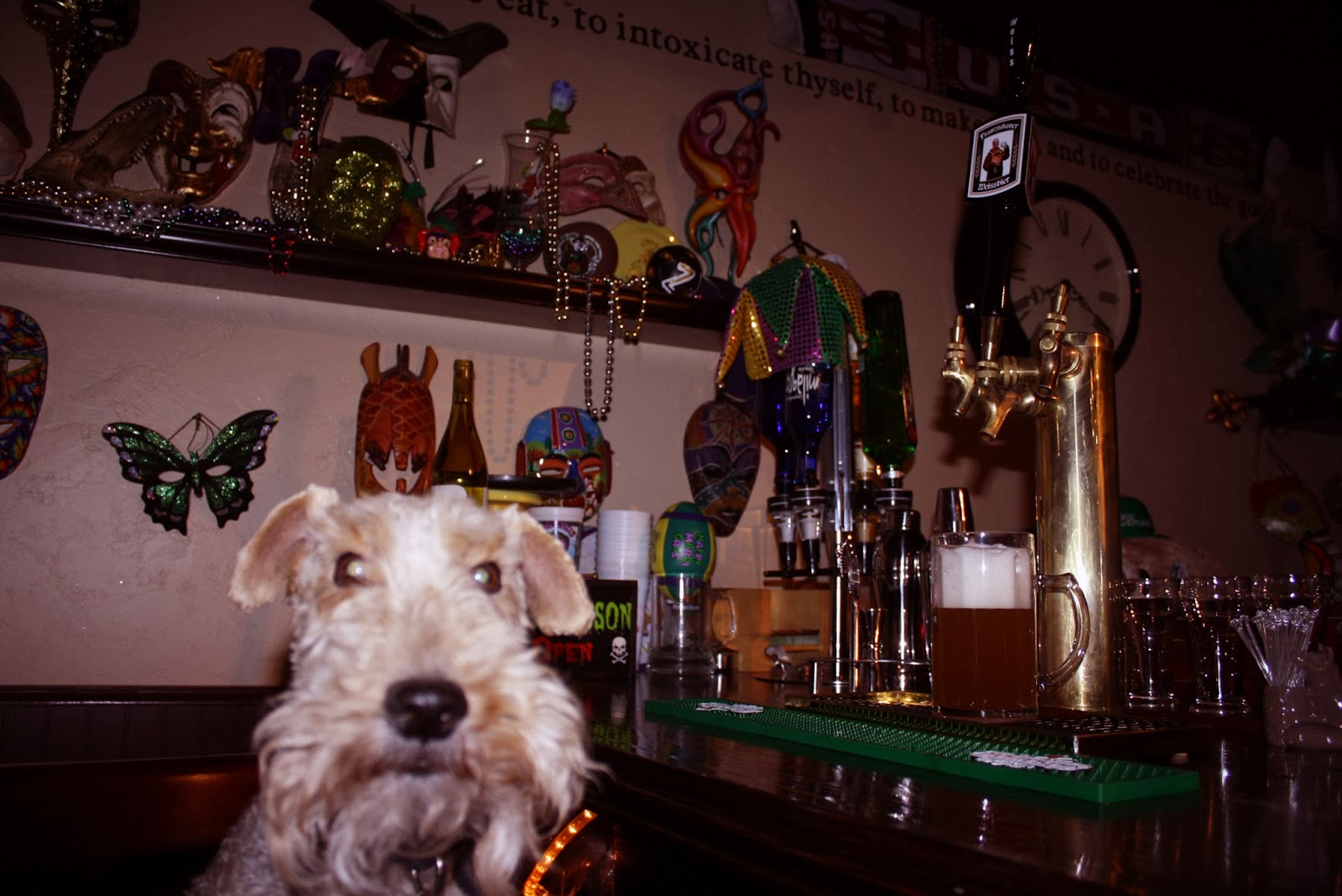 Cooper the Wire Fox Terrier and Franziskaner beer
