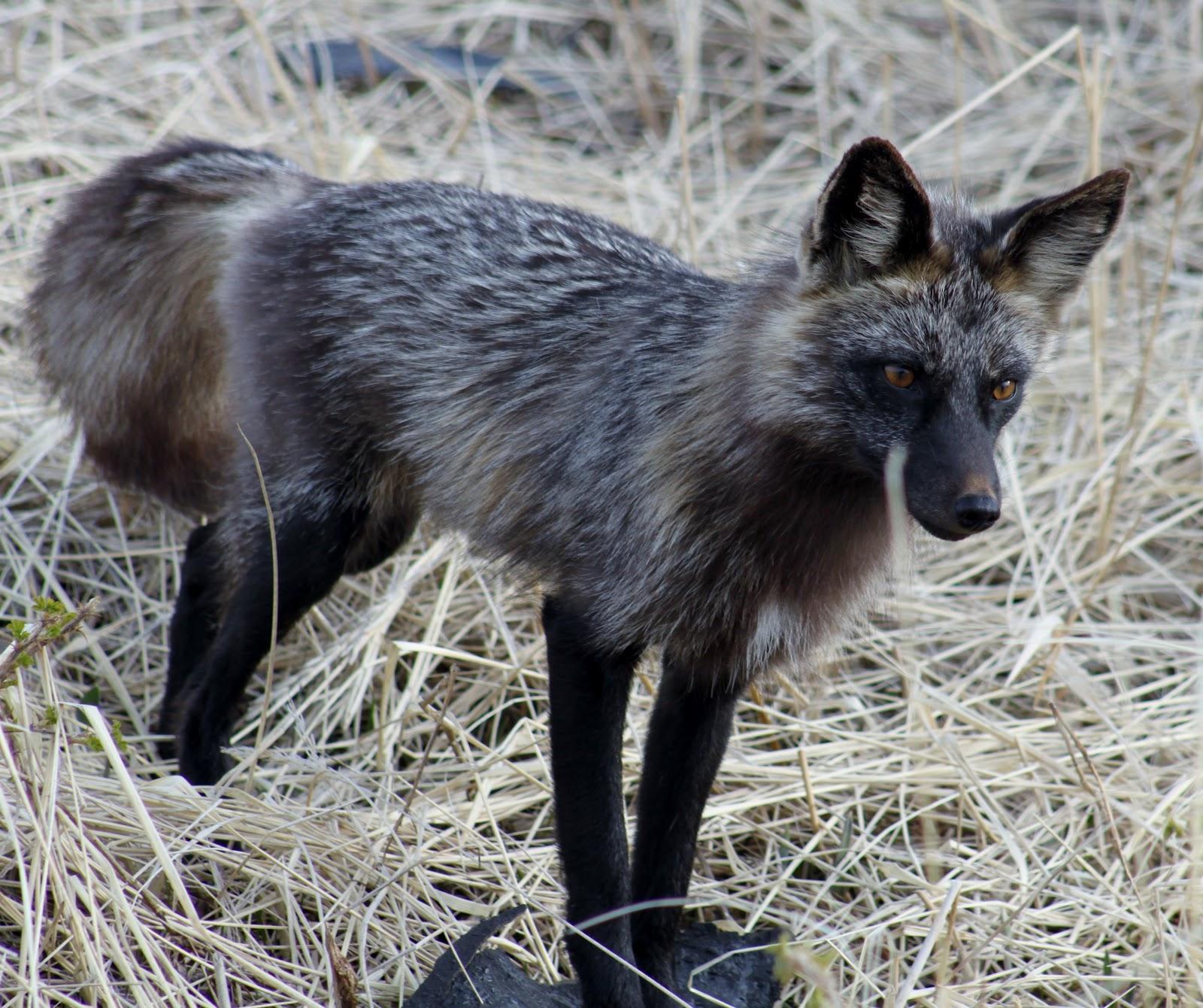 Still Life With Birder: Silver Fox