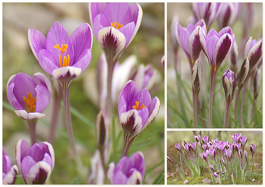Crocus chrysanthus ''Spring Beauty'