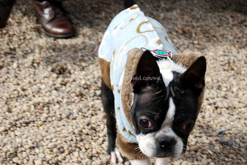 Boston Terrier Clothes