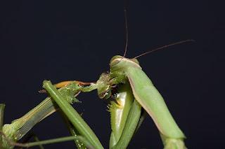 canibalismo em insetos
