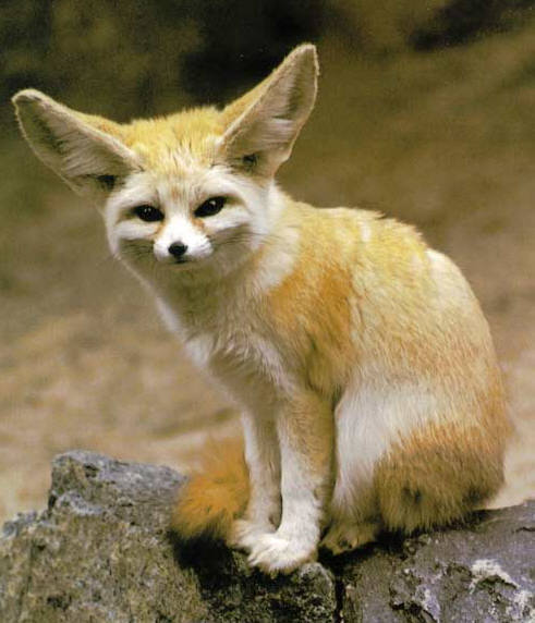 The Jungle Store: The Fennec What?