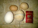 Telur Ayam Terbesar dan Terberat Indonesia