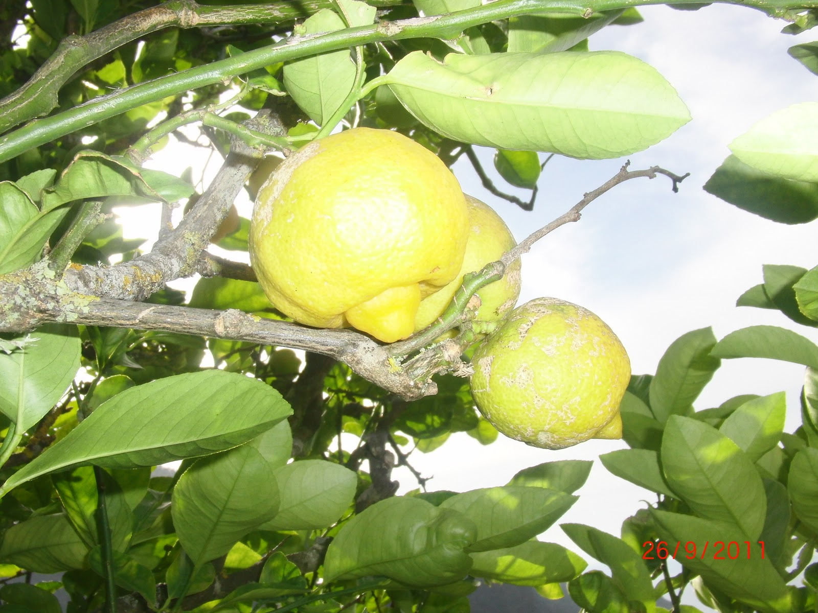 Sweet Limes (Lima Dulce) Information, Recipes and Facts