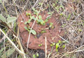 Σπορά με σβώλους-Φυσική καλλιέργεια-Παναγιώτης Μανίκης