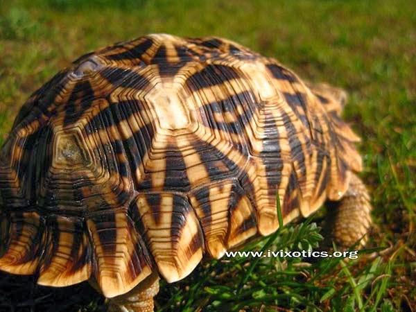 Psammobates oculiferus - Tortuga serrada