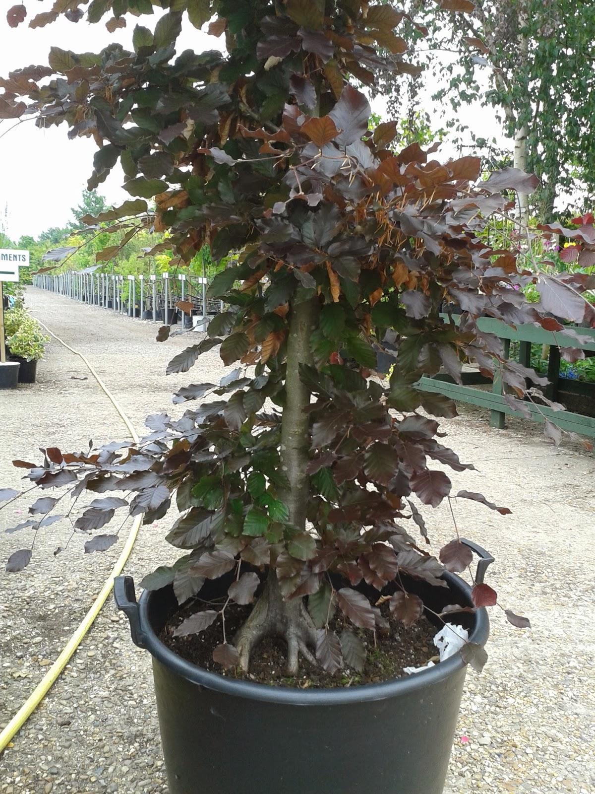 Fagus Sylvatica Purpurea Bonsai Dj- bonsai : purple beech ( fagus ...