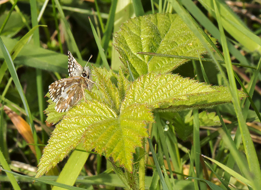 Grizzled Skipper, Pyrgus malvae.  Burnt Gorse, High Elms Country Park, 5 May 2014.