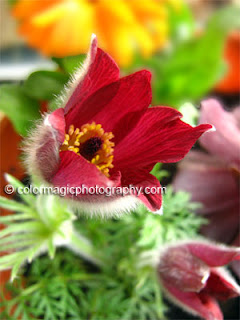Red Pasque flower closeup
