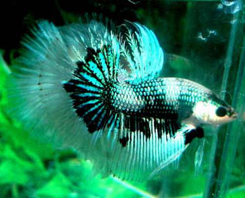 Betta for Petco live fish