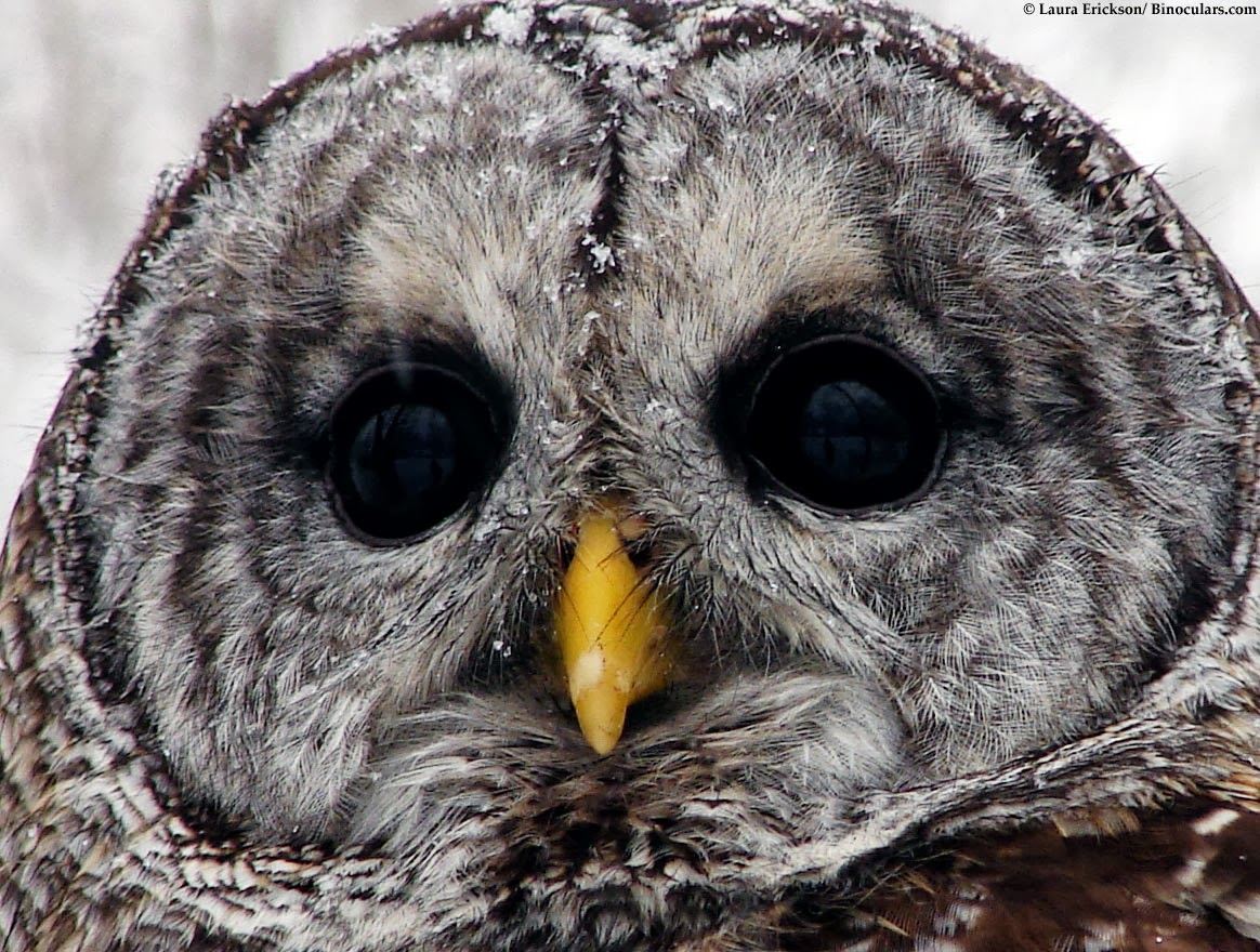Barred Owl Sounds | All About OWL