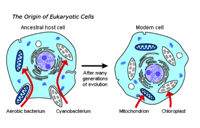 the origin of eukaryotic cells Research article open access an inside-out origin for the eukaryotic cell david a baum1,2 and buzz baum3 abstract background: although the origin of the eukaryotic cell has long been recognized as the single most profound.