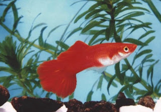 red guppy fish