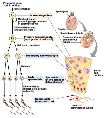 Oogenesis vs Spermatogenesis http://cikgurozaini.blogspot.com/2011/06/spermatogenesis-and-oogenesis.html