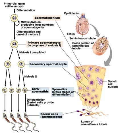 Diagram spermatogenesis dan oogenesis application wiring diagram rozaini othman guru cemerlang biologi spermatogenesis and oogenesis rh cikgurozaini blogspot com diagram proses spermatogenesis dan oogenesis pada manusia ccuart Choice Image