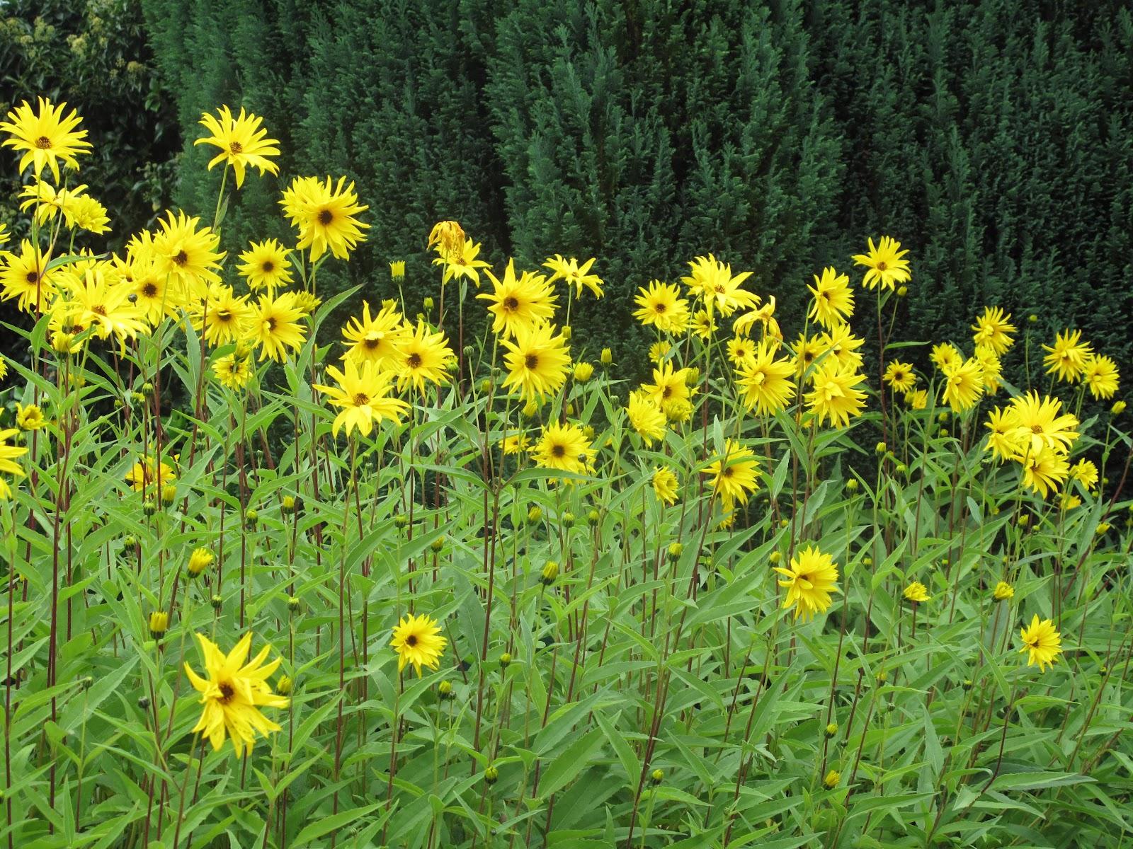 Very Tall Yellow Daisy Like Flower