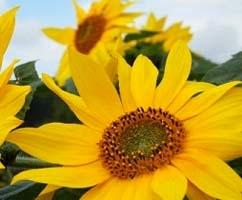 Menghilangkan Sakit Gigi dengan Bunga Matahari