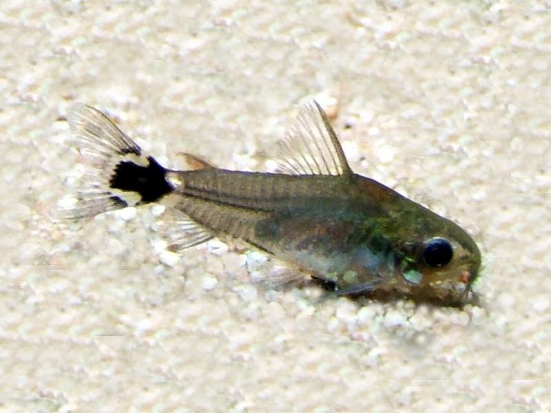 Fish Pictures: Dwarf corydoras - Corydoras hastatus