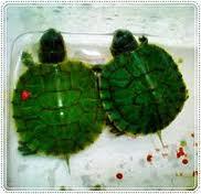 cara menetaskan telur kura-kura brazil, ternak kura-kura brazil