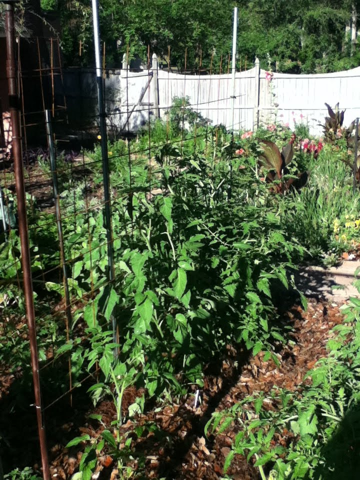 Gardening in Central Florida: Tomatoes in the March Florida garden