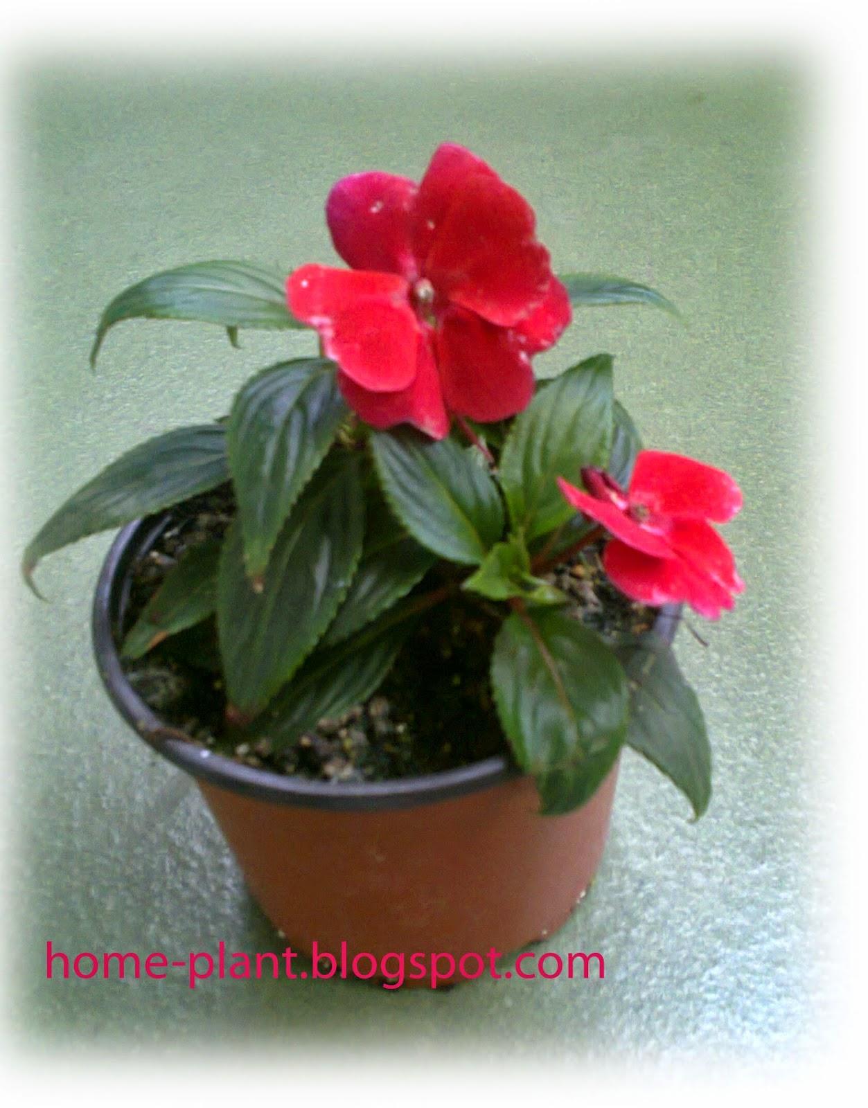 Огонек цветок уход в домашних условиях 40