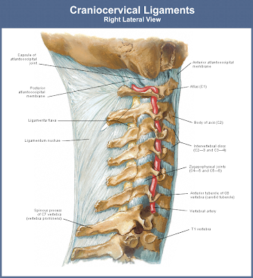 Image Gallery Nuchal Ligament