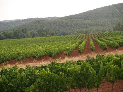 Vinyes de la Fransola des del Camí de la Censada Nova