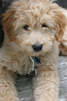 Our Future Golden Doodle