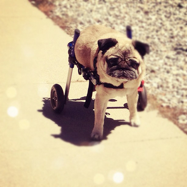 doggy wheels, pug in a wheelchair