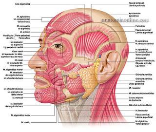 Anatomia da Musculatura do Pescoço