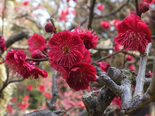 鹿児島紅梅。