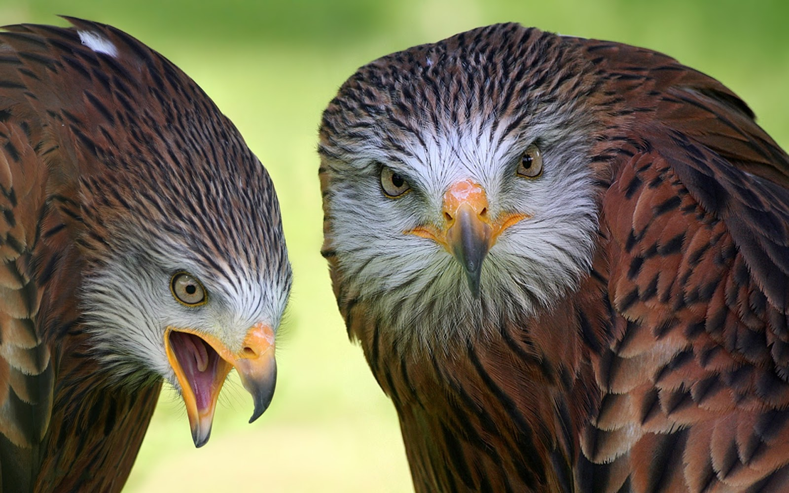 Must see   Wallpaper Horse Eagle - Eagle+Wallpapers+5  Photograph_18522.jpg